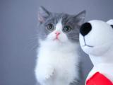 北京豐臺藍白貓幼崽怎么賣
