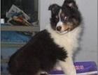 杭州出售纯种苏格兰牧羊犬,保健康包纯种可上门签协议