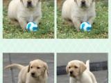 中國大寵物狗買賣犬狗場 本地出售支持上門自提看狗選狗價格