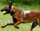 纯种马犬出售 双血统马犬幼犬 弹跳力强 兴奋度高
