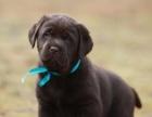 拉布拉多幼犬有黑色和咖啡色的,自己喂养大的,短毛的宠物狗狗