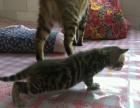 小孟加拉豹猫找新家啦