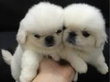 运城什么地方有狗场卖宠物狗/运城哪里有卖京巴犬