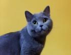 两个月英短蓝猫cfa