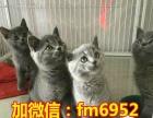 猫舍出售可爱英短蓝猫善解人意 送猫碗 猫粮 猫梳