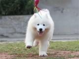 北京出售 萨摩耶犬 纯种健康保障 疫苗驱虫已做 签协议包售后