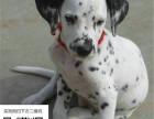 哪里有斑点狗出售 纯种斑点狗多少钱