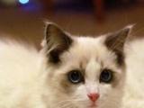 自家出售纯种布偶猫