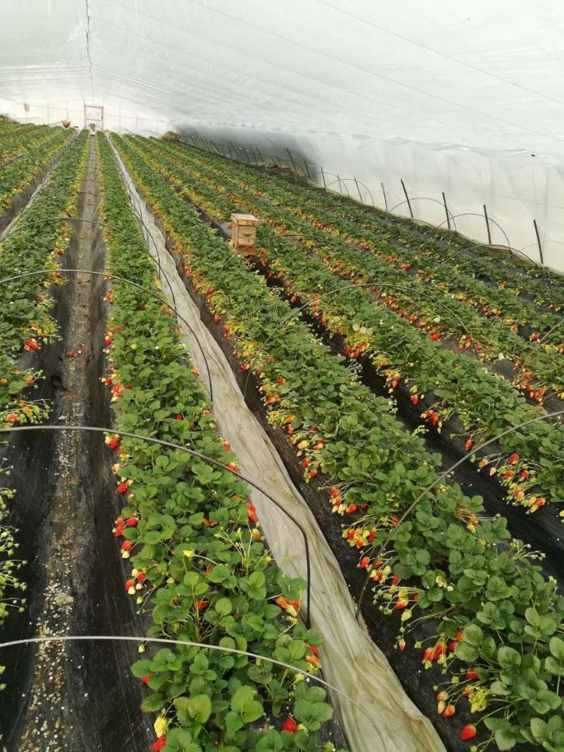 清明假期,黄岛红石崖采摘大甜宝草莓+农家宴