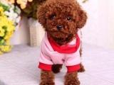 安阳哪里有泰迪犬卖多少钱可以买到 哪里