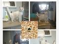 fgshb出售猫舍繁殖宠物猫 英短美短 品相好 欢迎选购