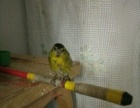 好品种黄巧鸟有售