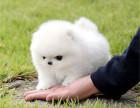 买狗找我 无锡哪里有卖纯种博美,博美多少钱?