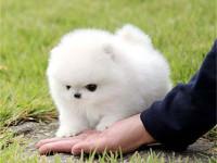 推荐犬舍 上海哪里有卖纯种博美,博美多少钱
