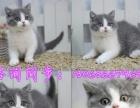 无锡猫舍,大包子脸加菲猫出售签协议,包建康