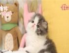 小米猫苑 加菲宠物猫 正规猫舍繁殖 十年猫舍