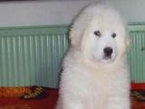 大白熊犬 纯种大白熊 欢迎您实地选购
