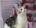 美短加白宠物猫美短美短幼猫纯种活体美短