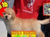 狗场直销◕纯种健康金毛幼犬◕支持视频看狗◕送用品