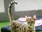 萌太家庭猫舍 孟加拉豹猫弟弟妹妹3个月到一岁