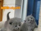 XR包子脸蓝猫出售XR
