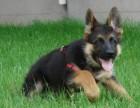 上海家养德国牧羊犬狗狗宠物 有狗狗图片视频