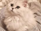 海口哪里有金吉拉猫卖 猫舍直销 健康活泼 包纯种 保养活