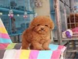 信誉服务 高端品质保障 纯种泰迪犬 常年有货