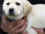 包防疫驱虫 可见狗父母 纯种拉布拉多,包健康,送用品