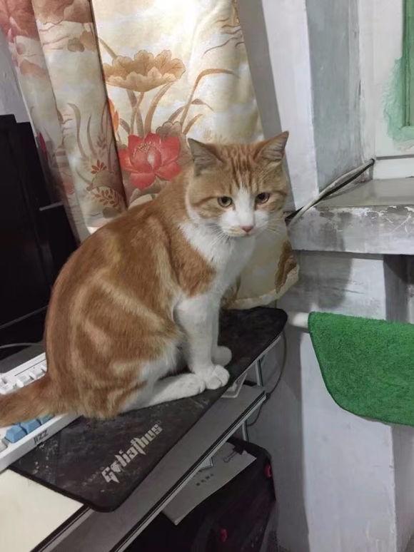 求购一只黄色虎斑花纹的成年公猫