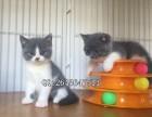重庆哪些猫舍宠物猫价格便宜 重庆宠物店出售蓝猫