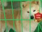 专业繁殖秋田犬养殖基地 可以来犬舍里挑选