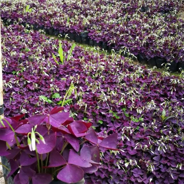 紫叶醡浆草.jpg