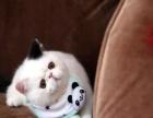 精品梵文种公借配 优质加菲猫宝宝待售 品质保证