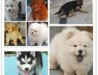 犬舍直销 阿拉斯加 比熊 泰迪熊 萨摩耶 哈士奇 边境牧羊犬