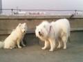 萨摩北极熊配种