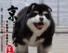 南昌哪里有卖纯种阿拉斯加雪橇犬的