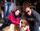 出售瑞士国宝圣伯纳犬,爱跑爱跳活泼,家中不让养。