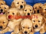 纯种养殖金毛犬 包健康 可签协议 全国招代理