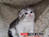 北京苏格兰折耳猫 蓝白折耳 蓝猫折耳 渐层折耳(包纯种健康)