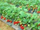 草莓成熟了,亲们快行动