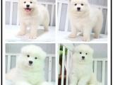 自己家养的双血统萨摩耶犬 颜值高 忍痛出售