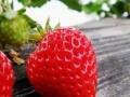 绵阳草莓采摘园三台草莓采摘园