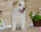 东莞纯种边境牧羊犬价格 东莞哪里能买到纯种边境牧羊犬