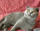 特价蓝猫弟弟折耳立耳都有【布丁猫苑】