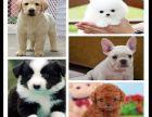 上海出售比熊狗狗博美幼犬专卖拉布拉多导盲犬