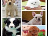 江苏苏州出售博美犬狗狗多少钱一只纯种德国牧羊犬