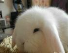 LY宠物兔,垂耳兔,活泼可爱,绝对萌人直接选兔