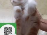 徐州哪里有加菲猫出售 徐州加菲猫价格 加菲猫多少钱