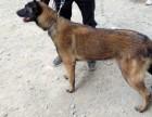 低价出售马犬 德国牧羊犬 狼青犬 比特犬 格力犬